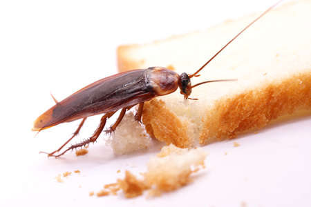 disease control: Cockroach on a slice of bread
