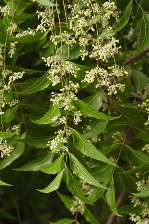 indica: Closeup view of neem tree - Azadirachta indica