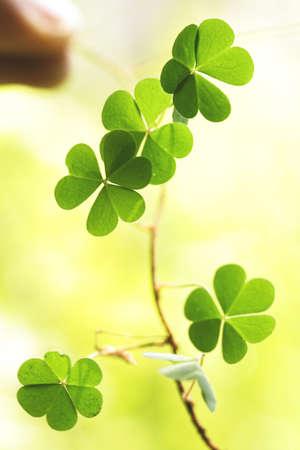 cloverleafes: Three leaf clovers