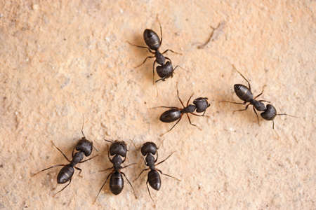 red ant: Group of carpenter ants