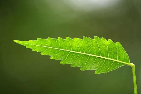 neem: Neem leaf-Azadirachta indica