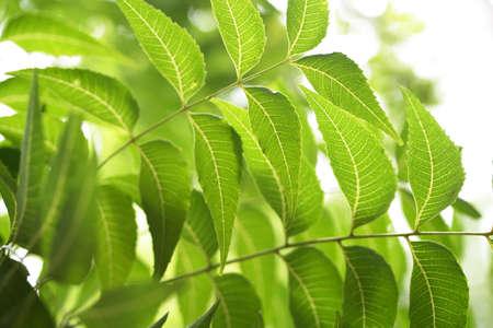 Neem blad-Azadirachta indica Stockfoto