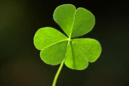 cloverleafes: Three leaf clover  Stock Photo