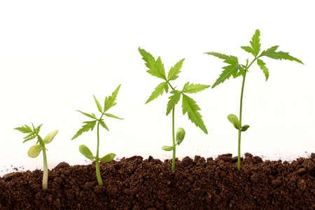 crecimiento planta: Secuencia de un crecimiento de la planta sobre el fondo blanco Foto de archivo