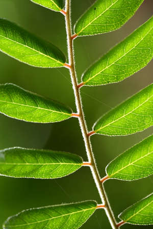 neem: Sweet neem leaves - curry leaves  Stock Photo