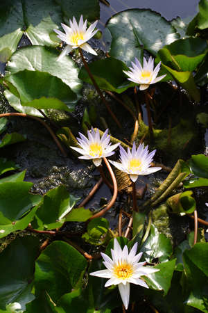 White Water Lily in Pond photo