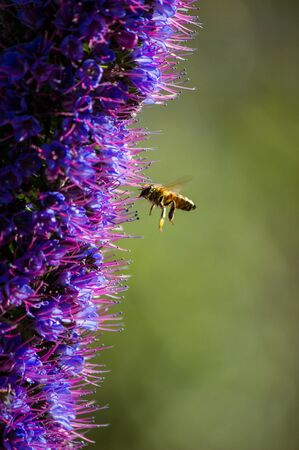 Bee pollinating vibrant purple echium candicans near the Ballona Creek, Los Angeles, California