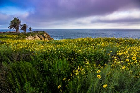 Beautiful black-eyed susan flowers covering the cliffs during the California Super Bloom of 2017, Rancho Palos Verdes, California Stock Photo