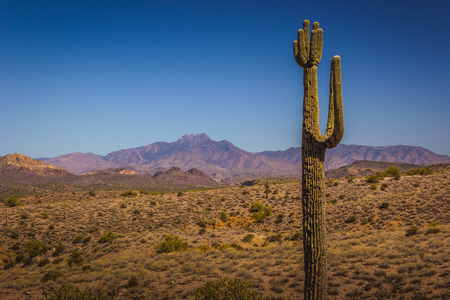 Beautiful Saguaro cactus with mountains in the background on a sunny day with clear blue sky, Lost Dutchman State Park, Arizona