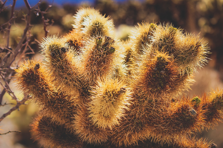 Close-up of Teddy Bear Cholla cactus in a dry desert landscape on a hot sunny day, Joshua Tree National Park, Riverside County, California