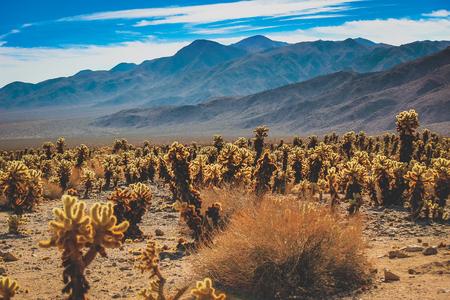 Parche de cactus Teddy Bear Cholla en un paisaje desértico seco en un día caluroso y soleado con montañas al fondo, el Parque Nacional Joshua Tree, el condado de Riverside, California Foto de archivo