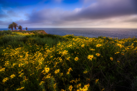 Beautiful black-eyed susan flowers covering the cliffs during the California Super Bloom of 2017, Rancho Palos Verdes, California Imagens