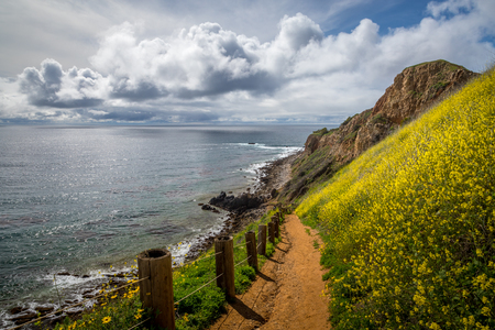 Beautiful view of yellow flowers covering steep Pelican Cove cliffs during the California Super Bloom of 2019 with stunning cloudscape on a sunny day, Tovemore Trail, Rancho Palos Verdes, California