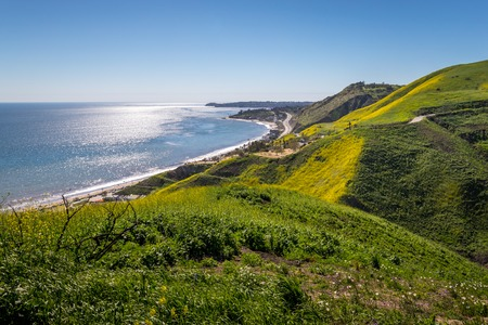 Vibrant yellow wildflowers covering Corral Canyon, Malibu, California in Spring 2019, four months after the Woolsey Fire of November 2018 destroyed this area.