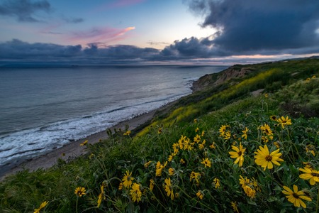 Stunning coastline view of Ocean Trails Reserve covered with yellow wildflowers after sunset during the California Super Bloom of 2019, Rancho Palos Verdes, California