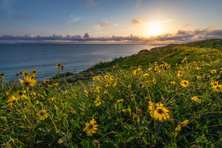 Stunning coastline view at sunset with cliffs covered with yellow wildflowers during the California Super Bloom of 2019, Rancho Palos Verdes, California