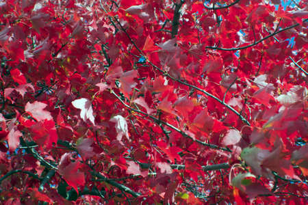 brilliant red autumn leaves full frame