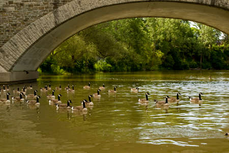 Stone arched  bridge with Canada geese swimming