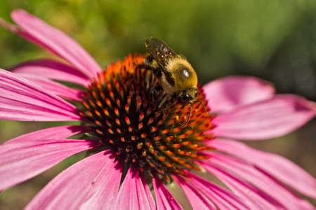 Bee on Echinacea flower high angle close cup Stock Photo