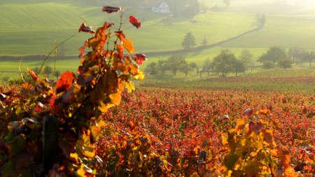 winegrowing: Vineyards in autumn