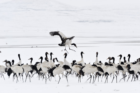 distinctive: Distinctive Black-necked cranes leader