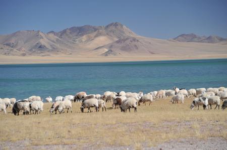 Sheep on grass near lake of Tibet photo