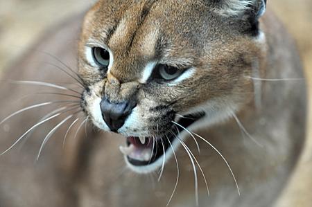 aggresive: cat closeup Stock Photo