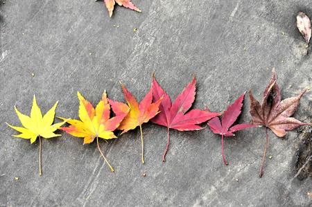maple leaves change photo