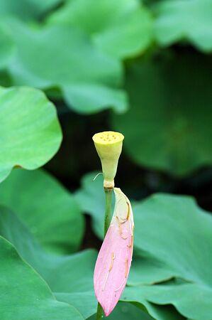 lotus petal: lotus petal