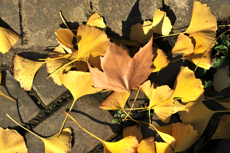 fallen ginkgo leaves on the ground photo