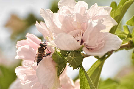 A close up of a bee and a pink rose of sharon shrub.