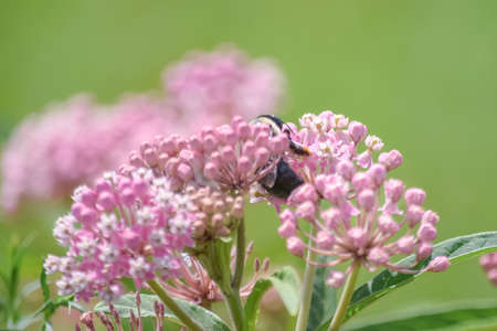 A close up of a bee and a pink asclepias incarnata weed flower.