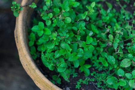 minted: mint in pot