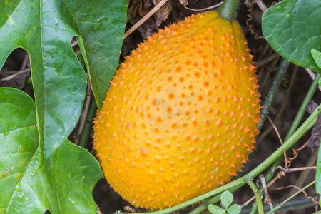 bitter fruit: Gac fruit,Spring bitter cucumber