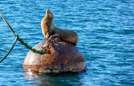 sun bathing: HabourSeal sun bathing on buoy