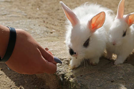 Female hand feed two rabbits Imagens