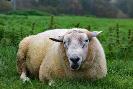 Sheep lying  on green meadow