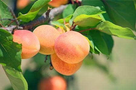 Ripe apricot on a tree branch.Horizontal image. photo