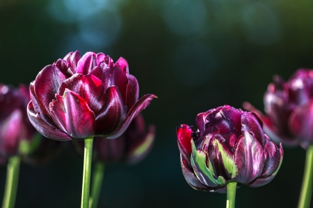 Black tulips on a dark green background Stock Photo - 19541761