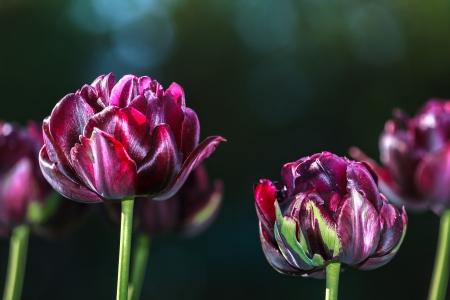 fondo verde oscuro: Tulipanes negros en un fondo verde oscuro