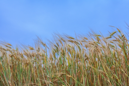 close-up ears of wheat against the sky photo