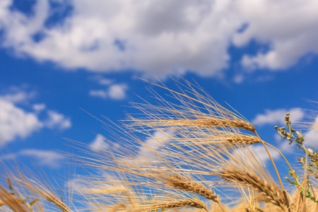 Ripe wheat against a blue sky and clouds photo