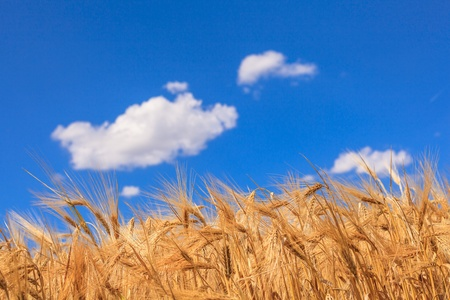Ripe wheat against a blue sky and clouds Stock Photo - 20460717