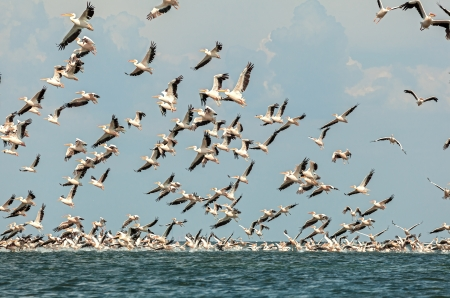 flock of pink pelicans fly over the water photo
