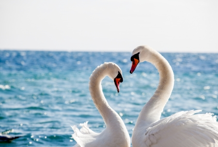 sea bird:   Swan couple on a background of water, close-up  Stock Photo