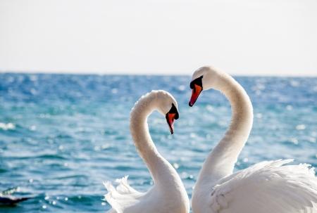 Zwaanpaar op een achtergrond van water, close-up