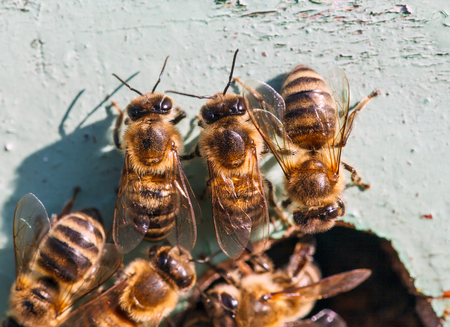 worker bees: worker bees at the entrance to the hive, closeup Stock Photo