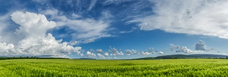 sways: Wheat field on a background of cloudy sky.