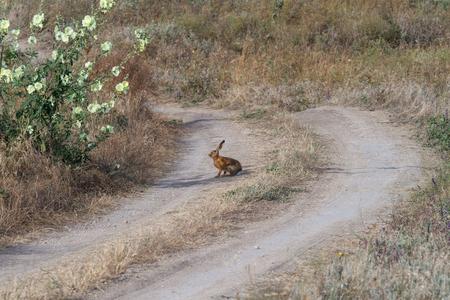 liebre: Hare on steppe road Foto de archivo