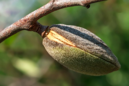 Ripe almonds walnut hanging on a branch. Close-up, focus on the nut
